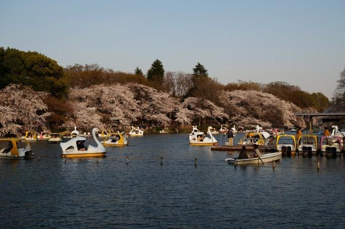 井の頭公園桜2015 (3)