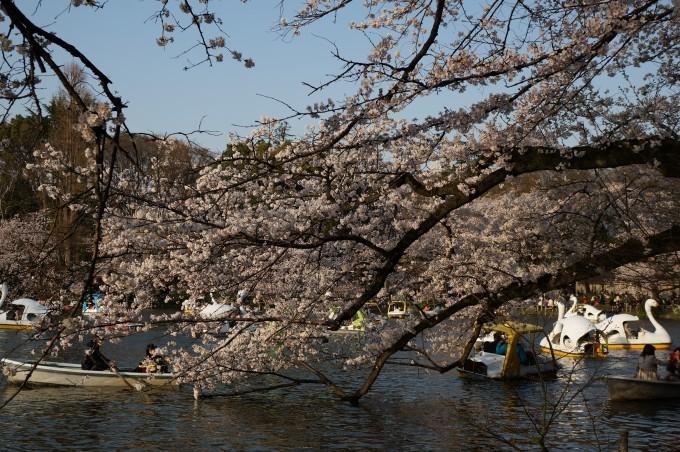 井の頭公園桜2015 (2)