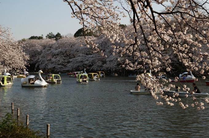 井の頭公園桜2015 (1)