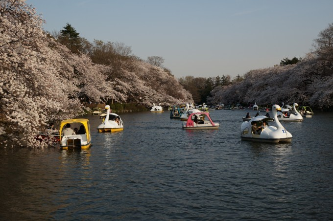 井の頭公園桜2015 (5)